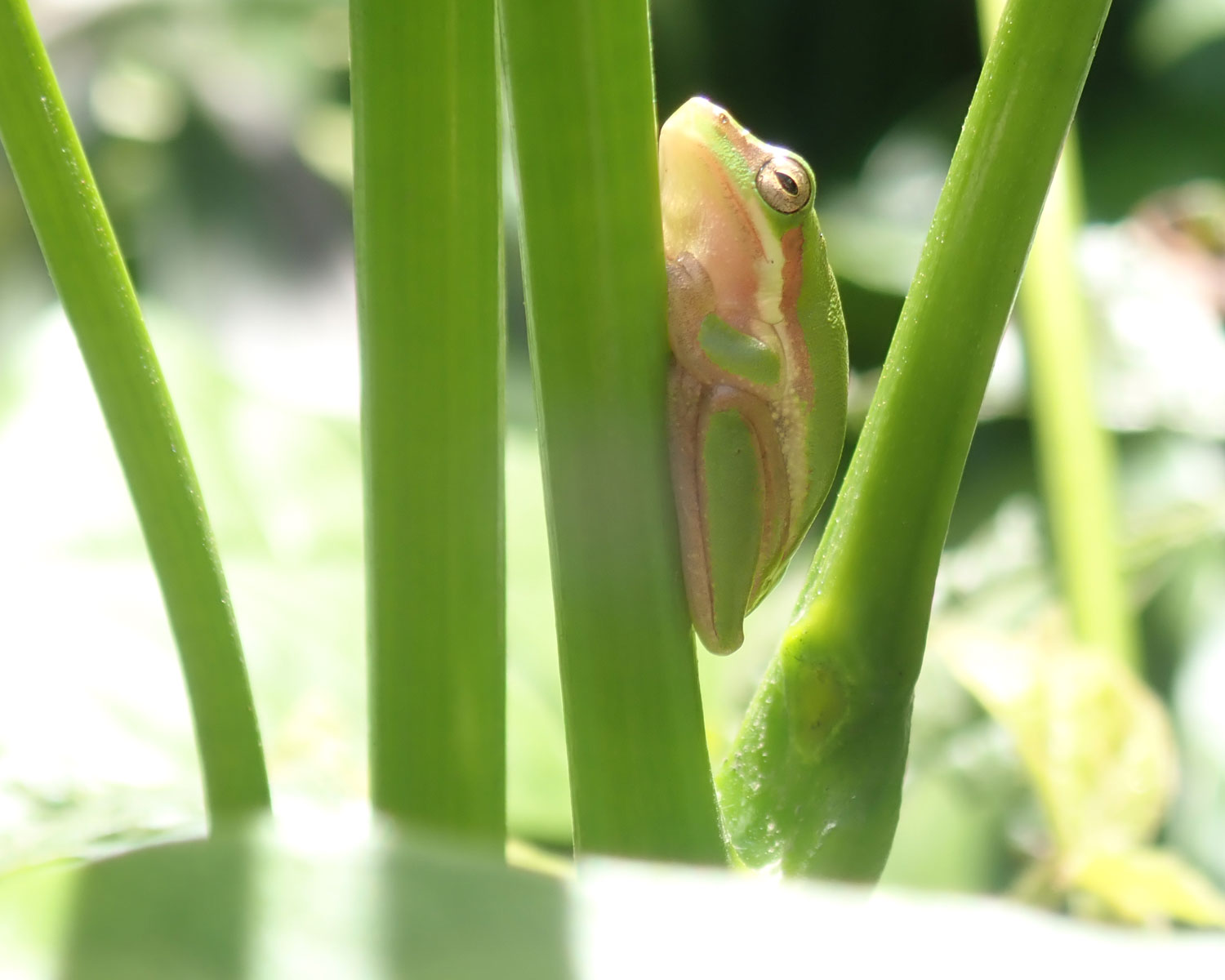 Photo Competition Dwarf frog