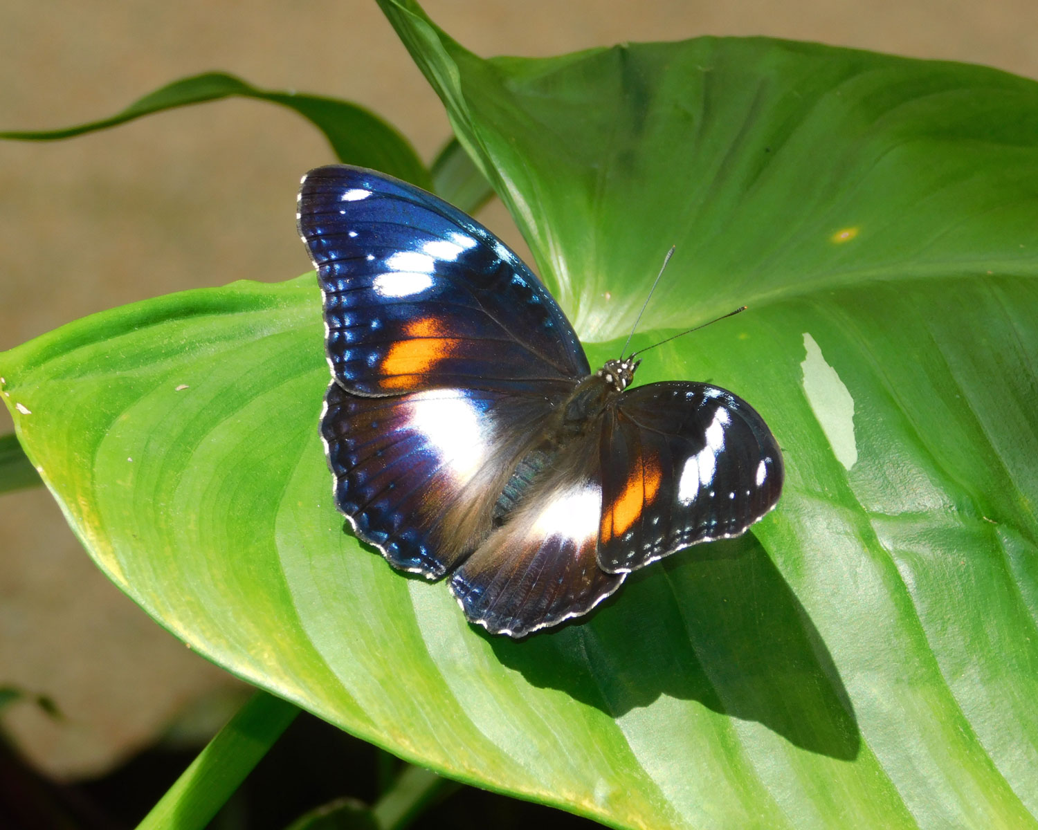 Photo Competition black butterfly
