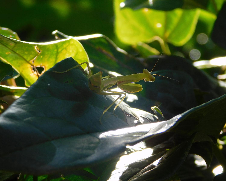 Photo Competition juvenile giant praying mantis