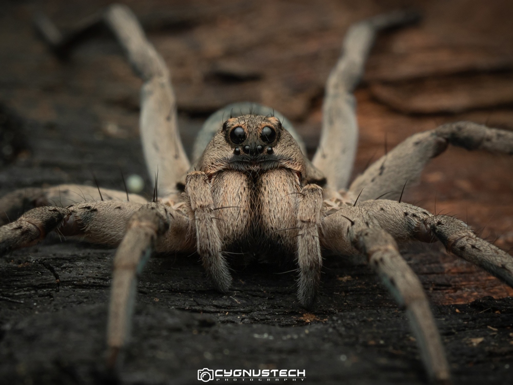 Melbourne Macro CygnusTech photograph of a spider