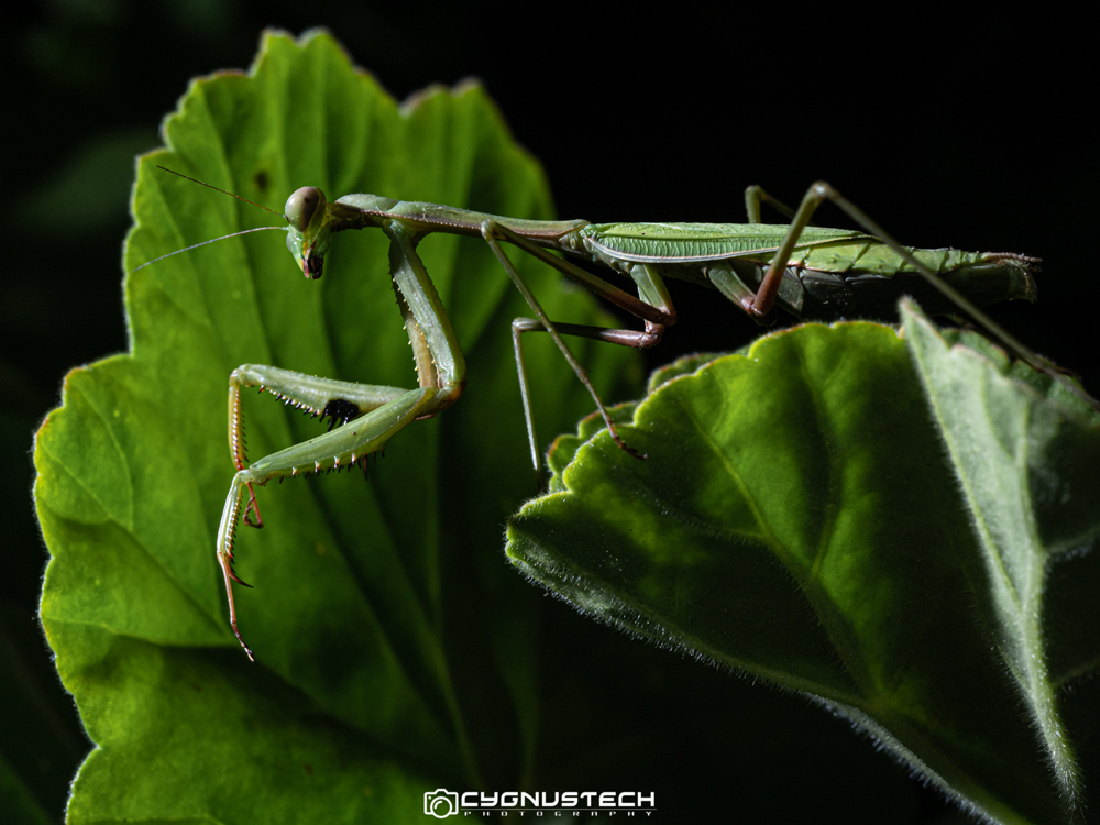 Melbourne Macro CygnusTech photograph of a praying mantis