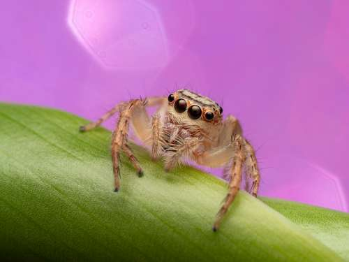 A beautiful jumping spider sitting on a green stem with a pink sparkle background
