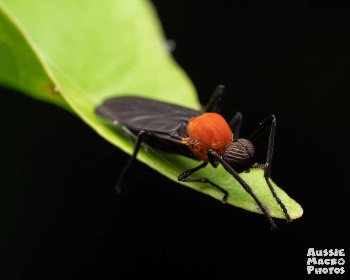 Extreme closeup red and black bug fly sitting on a leaf