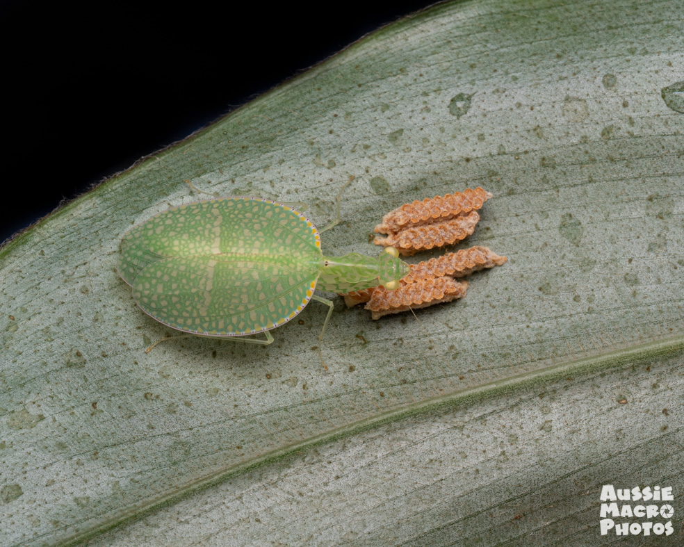 A beautiful exotic flat mantis sitting on a leaf with her unhatched eggs