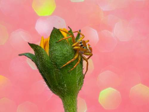 Photography Prints of a beautiful jumping spider sitting on a yellow flower with a pink sparkle background