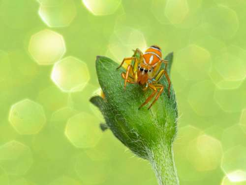 A beautiful jumping spider sitting on a yellow flower with a green sparkle background