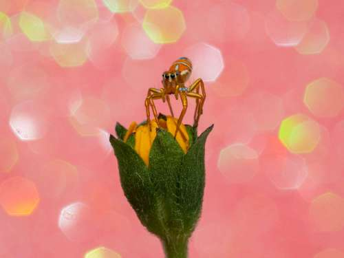 Photography Print of a beautiful jumping spider sitting on a yellow flower with a pink sparkle background
