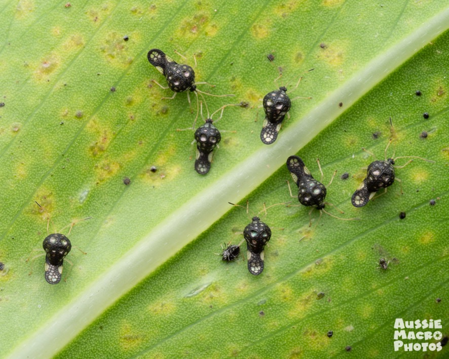 Undescribed Tingidae Many tiny black new species of alien-like bugs sitting on a leaf