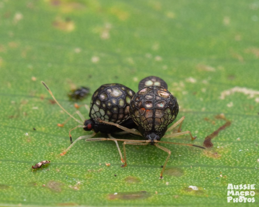 Undescribed Tingidae new species beautiful black alien-like bugs mating on a leaf