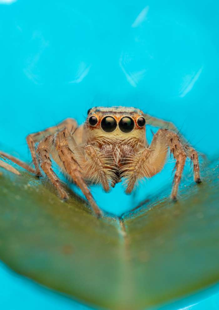 Greeting Card Photography print of a beautiful jumping spider sitting on a green leaf with a light blue sparkle background
