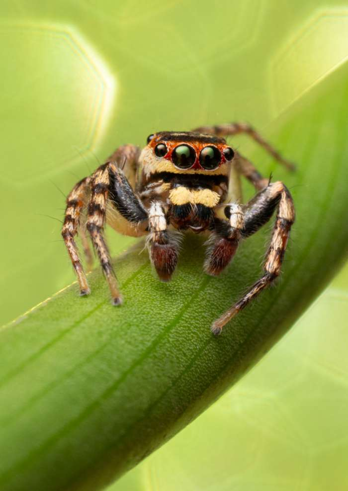 Greeting Card Photography prints of a beautiful jumping spider sitting on a green stem with a green sparkle background