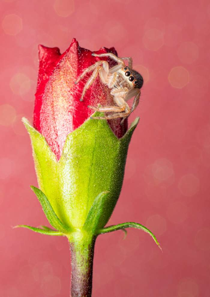 Greeting Card Photography print of a beautiful jumping spider sitting on a red flower with a pink sparkle background
