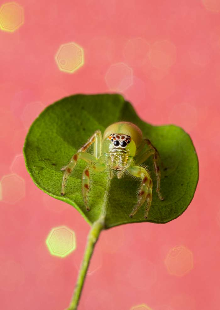 Photography Print of a beautiful green jumping spider sitting on a leaf with a pink sparkle background