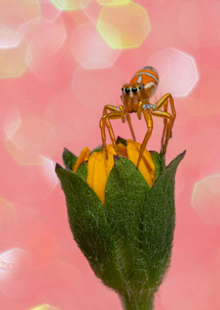 Photography Print of a beautiful jumping spider sitting on a yellow flower with a pink sparkle background Disco bugs