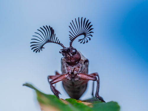 Tour Postcard sample of Feather Horned Beetle