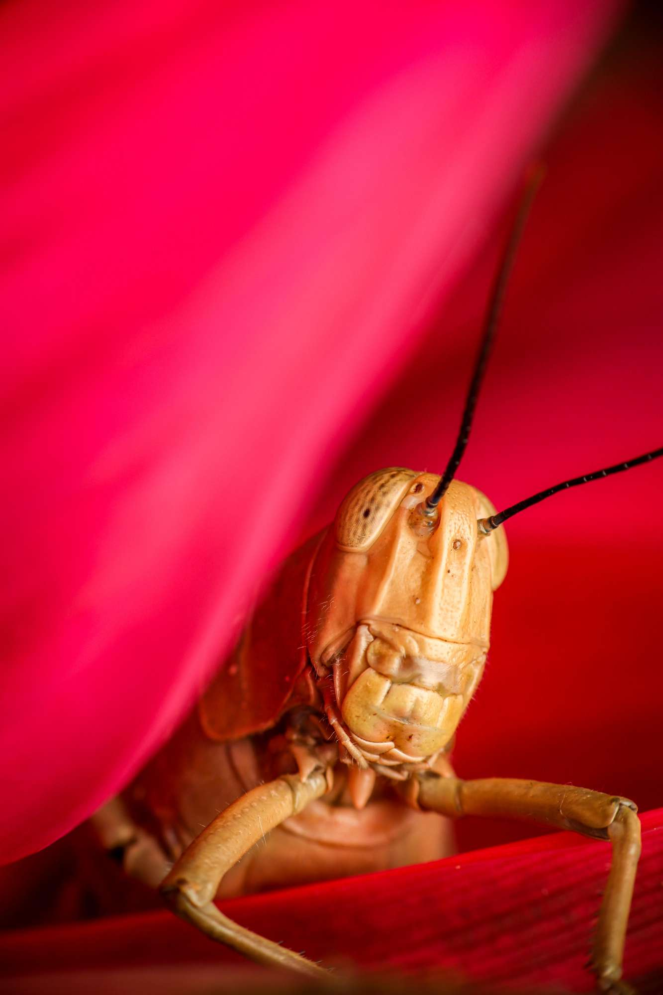 A large golden grasshopper sits amongst red flowers
