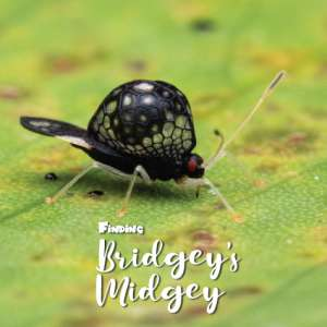 Undescribed Tingidae new species Oecharis Lacebug beautiful black alien-like bug with red eyes with 'Finding Bridgey's Midgey' Logo