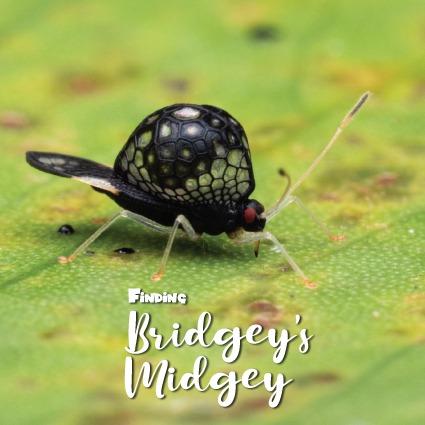 Undescribed Tingidae new species Oecharis Lacebug beautiful black alien-like bug with red eyes with 'Finding Bridgey's Midgey' Logo