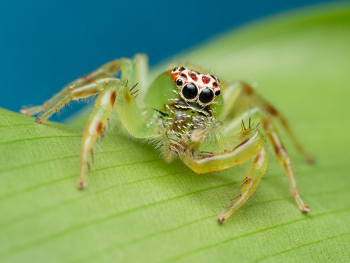 Tour Postcard sample of Green Jumping Spider