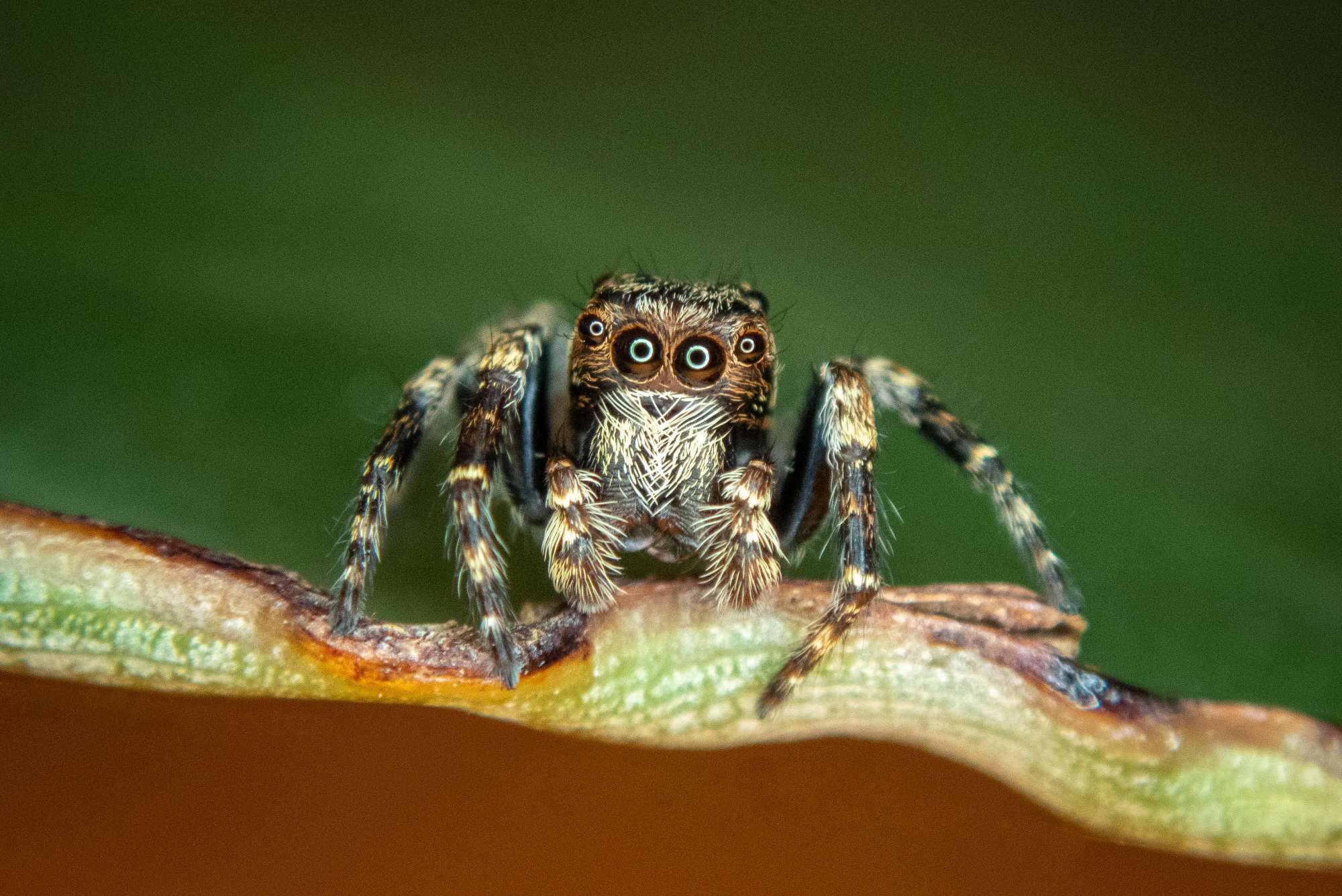 Jumping spider on a leaf with reflection in forward facing eyes.