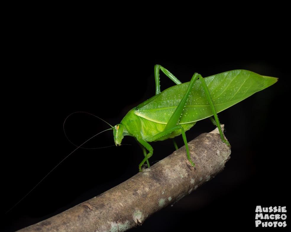 Katydid Green leaf looking Insect