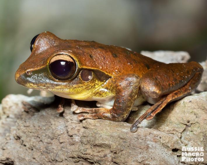 Northern Stony Creek Frog (Litoria jungguy) Lets Go Buggin Night Walk