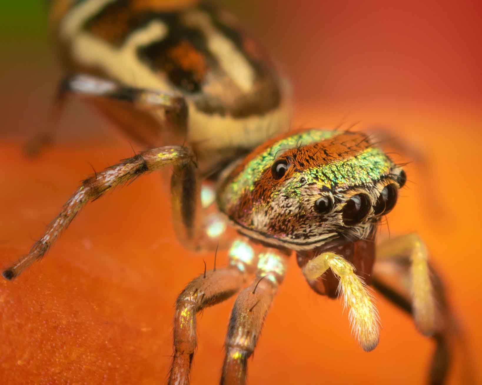A colourful jumping spider
