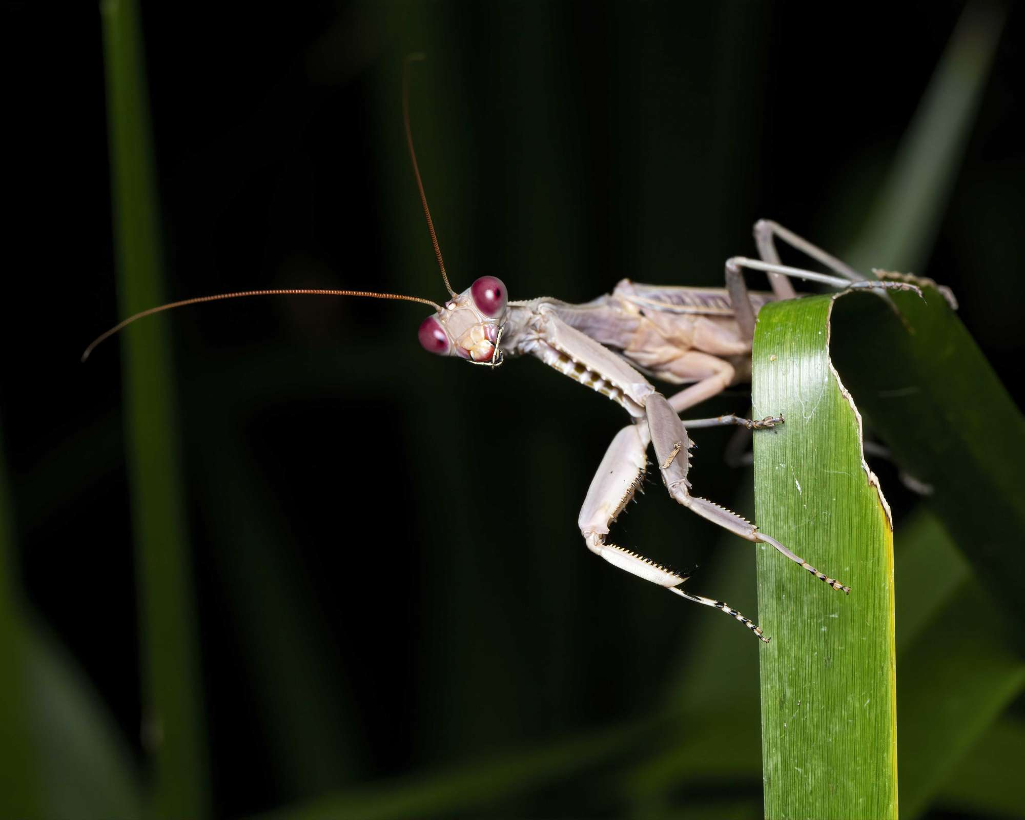 Praying Mantis with red eyes on a leaf