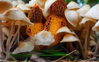 Closeup of some orange veiled mushrooms amongst some cream coloured mushrooms