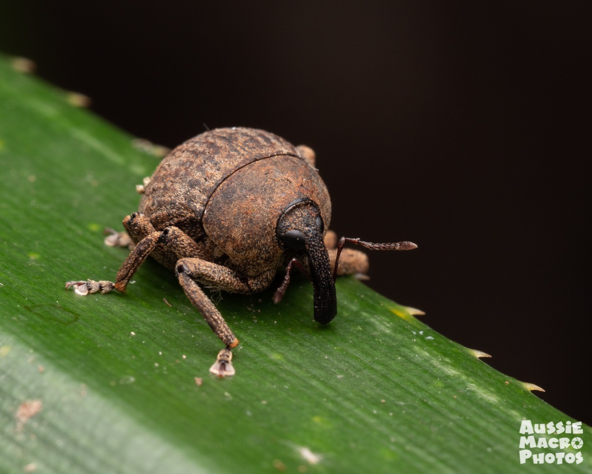 brown Weevil on a plant stem Buggin January