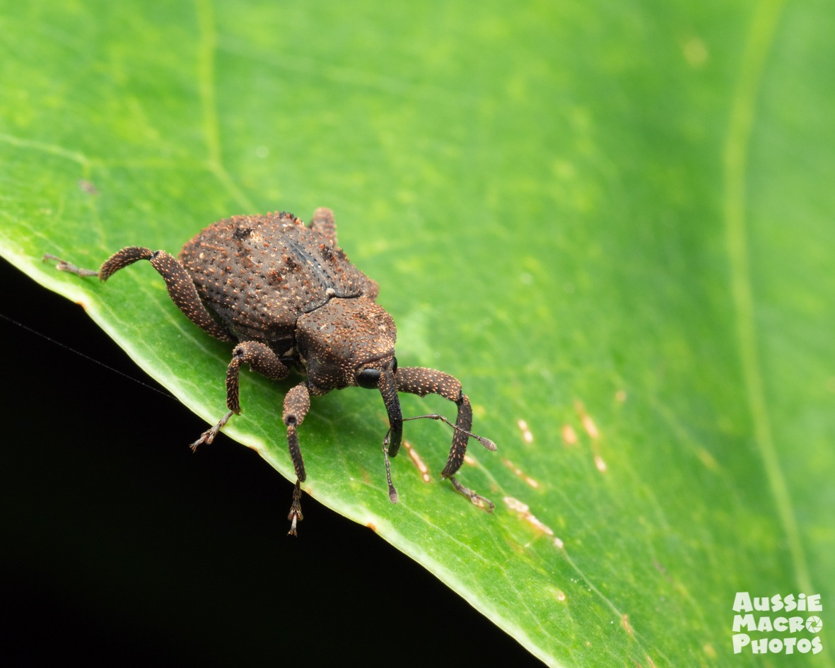 brown Weevil on a plant stem for Buggin January