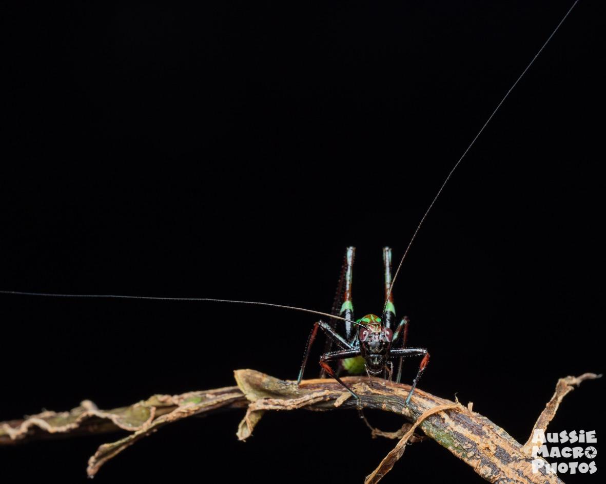 colourful katydid photograph