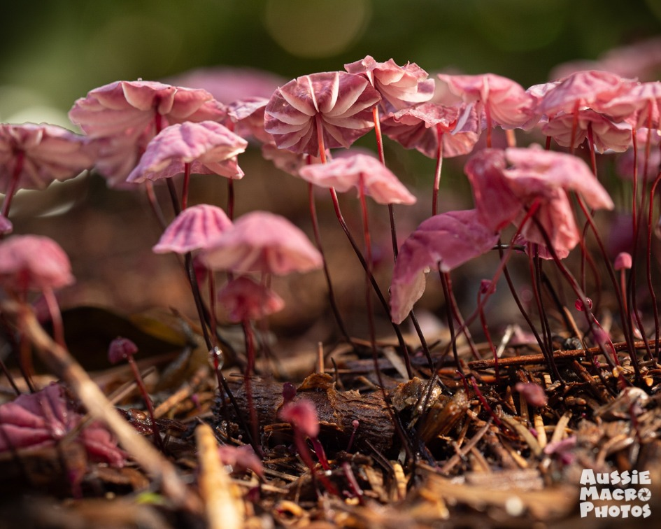 pink mushroom cluster mushroom tour blog