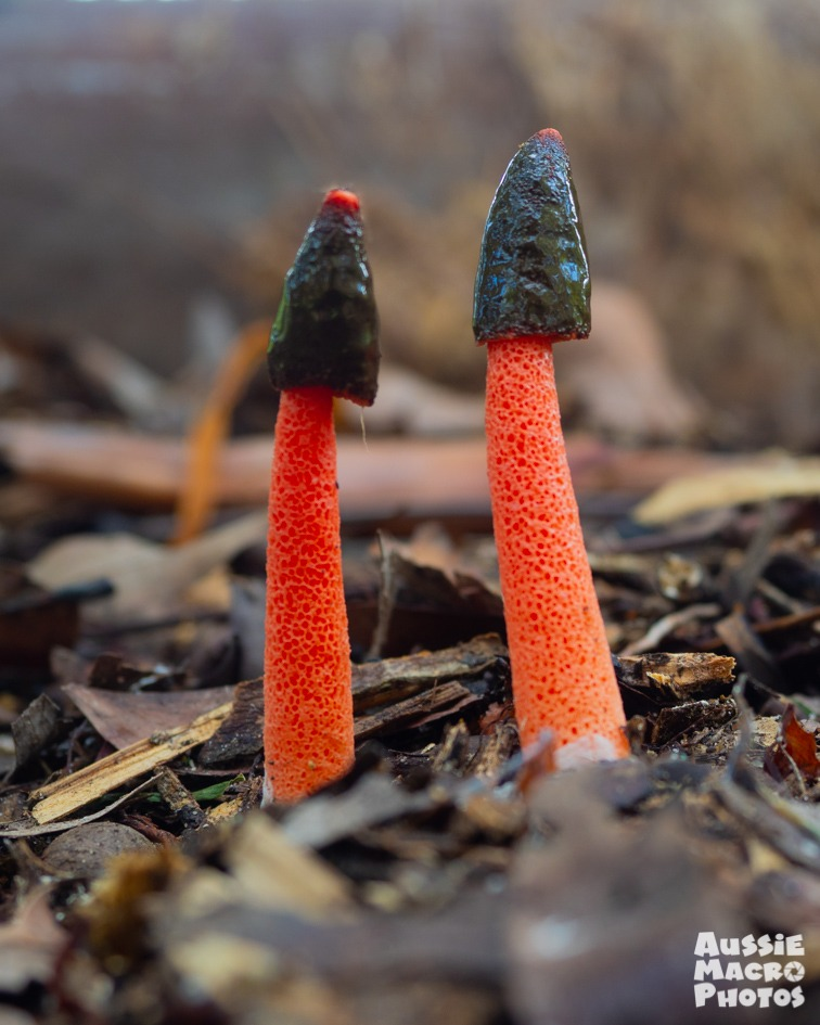 Red Stinkhorn Fungi mushroom photography tour