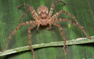 Huntsman Spider Let's Go Buggin Night Walk