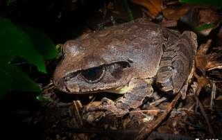 Northern Barred Frog Night Walk Let's go Buggin Cairns