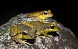 Northern Stony Creek Frogs Let's Go Buggin Night Walk