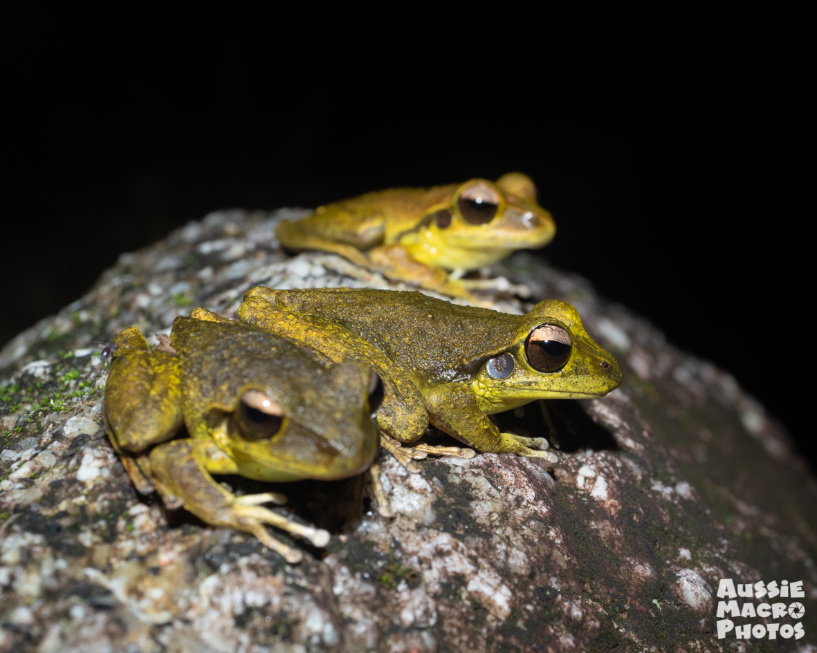 Northern Stony Creek Frogs Let's Go Buggin Night Walk
