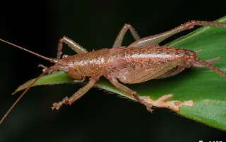 Cricket on Lets Go Buggin Night Walk Cairns