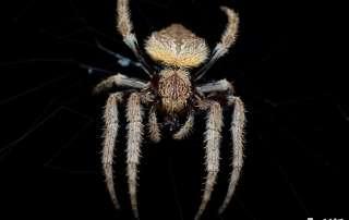 Garden Orb Weaver Spider Lets Go Buggin Night Walk