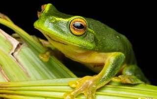 Graceful tree Frog on a Palm Leaf Night Walk Let's go Buggin Cairns