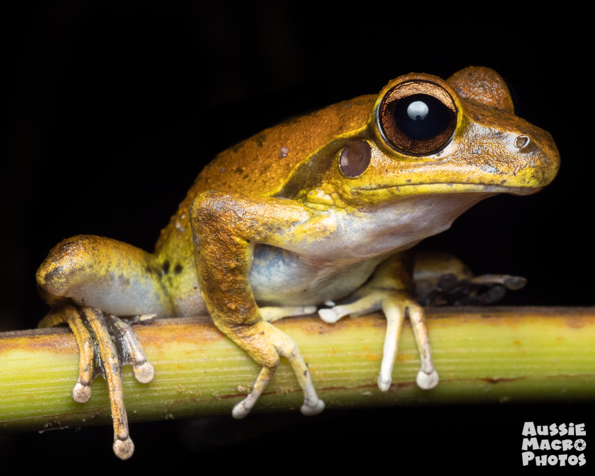 Northern Stony Creek Frog Let's Go Buggin Night Walk