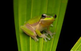Dwarf Tree Frog Let's Go Buggin Night Walk