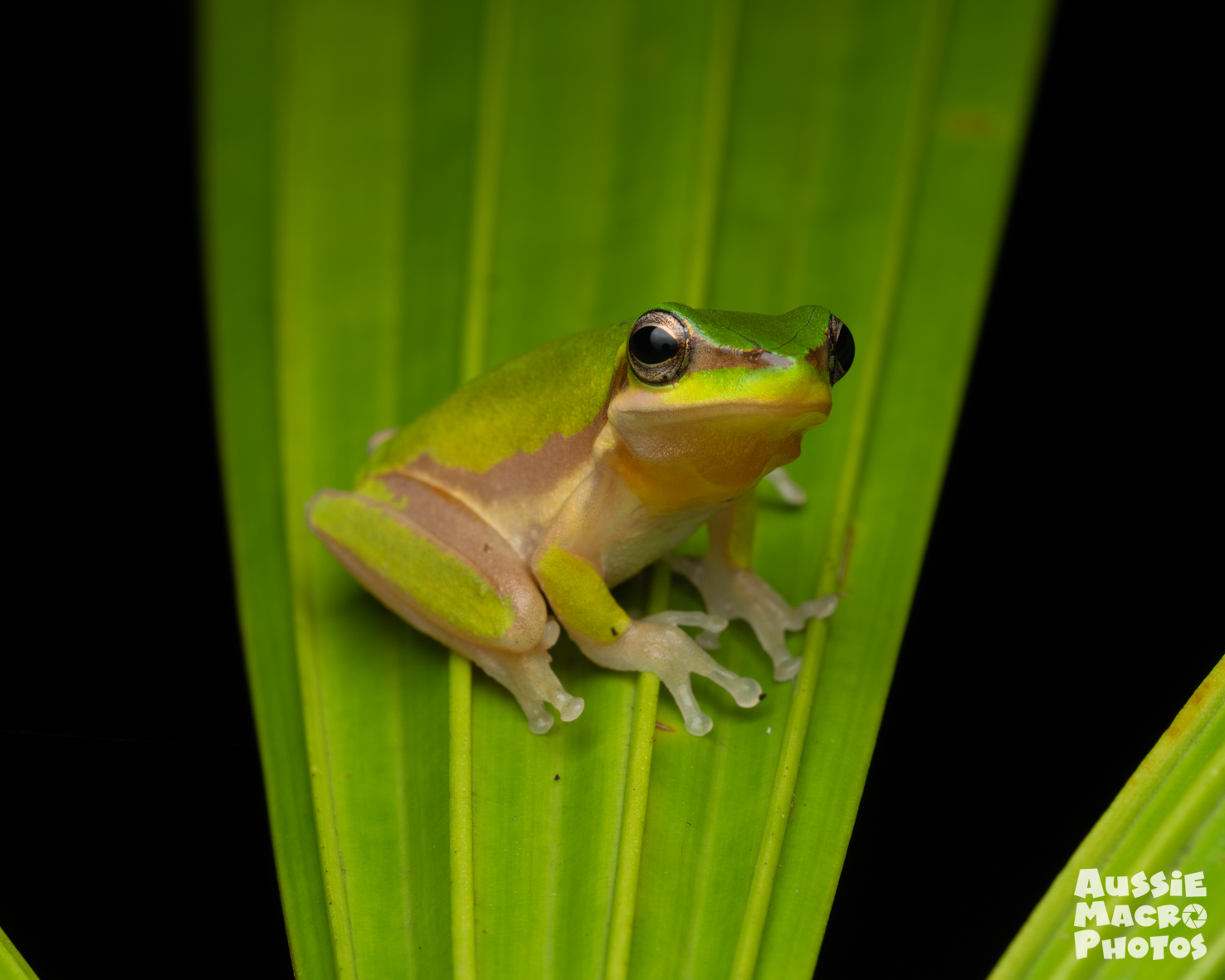 Dwarf Tree Frog Let's Go Buggin Night Walk