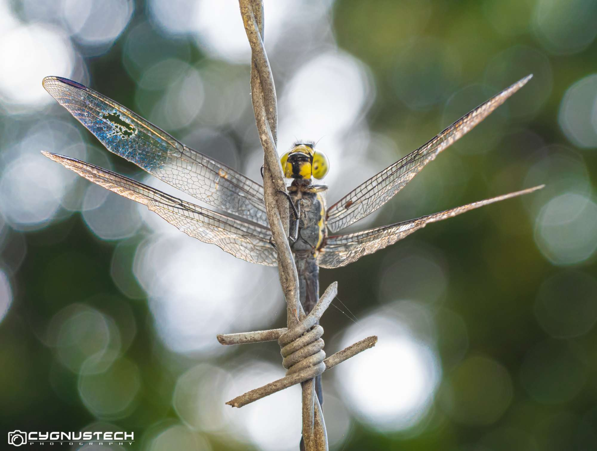 dragonfly on fence CygnusTech Cairns Visit Lets Go Buggin