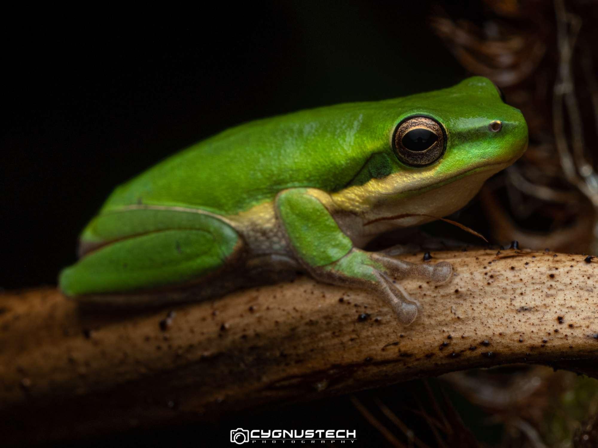 green frog CygnusTech Cairns Visit Lets Go Buggin