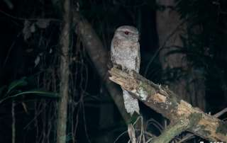 Papuan Frogmouth on a Lets Go Buggin Night Walk