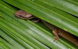 Lizard on palm leaf Night Walk Let's go Buggin Cairns
