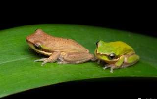 Dwarf Tree Frogs Let's Go Buggin Night Walk