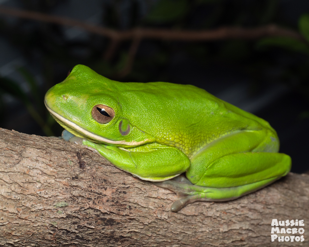 White-lipped Tree Frog Let's Go Buggin Night Walk